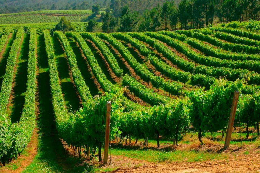 Viñedos de Terras Gauda en la localidad de O Rosal, en la provincia de Pontevedra.