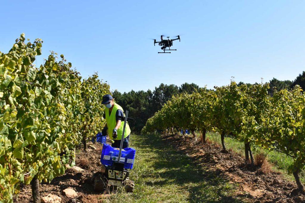 Un dron vigila el estado de las viñas mientras el robot, que sigue a la vendimiadora gracias a unos sensores incluidos en el chaleco, carga la caja con los racimos de uvas y los lleva a la bodega al alcanzar el peso previsto dando el relevo a otro robot.